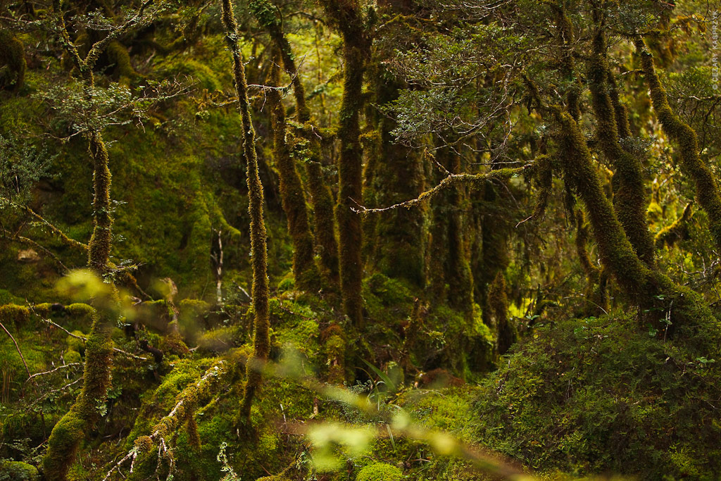 Cezary Kasprzyk Photography - New Zealand - Routeburn-Track - Magic Forest - 2010